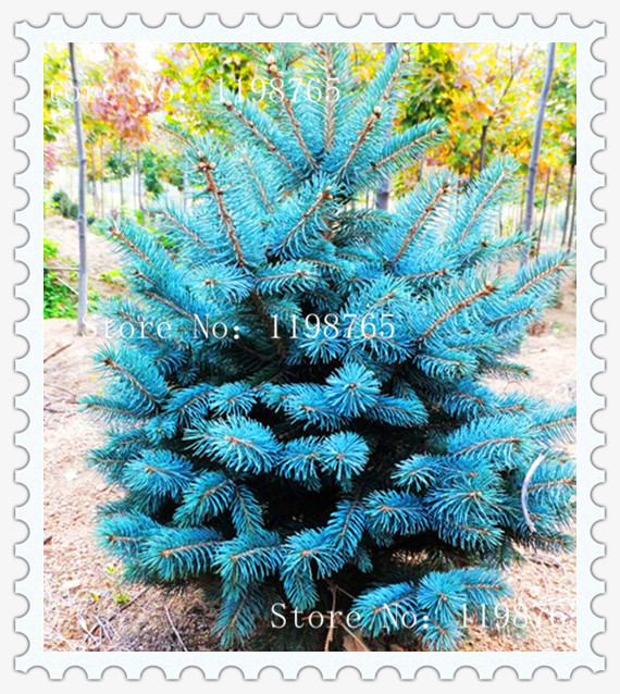 50 quality Spruce Tree seeds Home Garden Plant Evergreen Colorado Blue Spruce Picea Pungens Glauca Tree Seeds