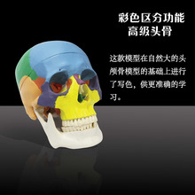 Medical teaching supplies Plastic 3 teeth removable 3 part medical anatomical skull model with colored bones