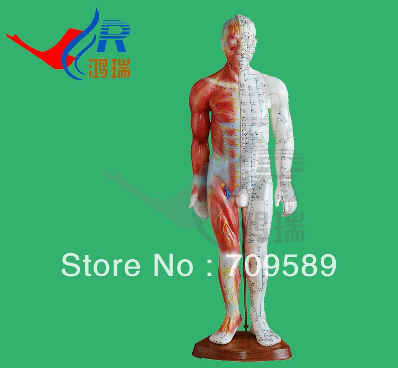 Model Anatomy Professional Medical Acupuncture  &Anatomy  Muscle 55cm gastric anatomy model chinon bix a1045 wbw266