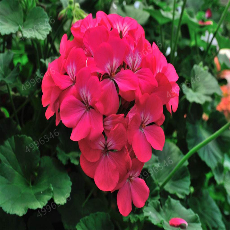 100 Pcs Colorful Bonsai Geranium Flower Rare Variegated Geranium Bonsai Potted Indoor Rooms Home Garden Flower For Bonsai Plant in Bonsai from Home Garden