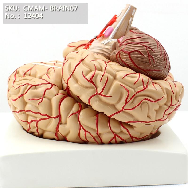 CMAM/12404 Del Cervello, 8-parti, Medico Cervello Anatomia Umana ModelloCMAM/12404 Del Cervello, 8-parti, Medico Cervello Anatomia Umana Modello