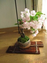 Pretty Bonsai Little Plant, Mini Potted Pink Cherry Tree Seeds 10Piece Cherry seeds