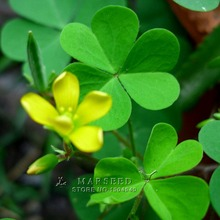 Marseed Nutritious 200 Clover Flower Seeds Visually Stimulating Layouts