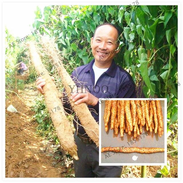 Hot 104 Pcs Chinese Yam Bonsai Rhizoma Dioscoreae Plants Growing For Home Garden Rare Medicinal Vegetables Plantas