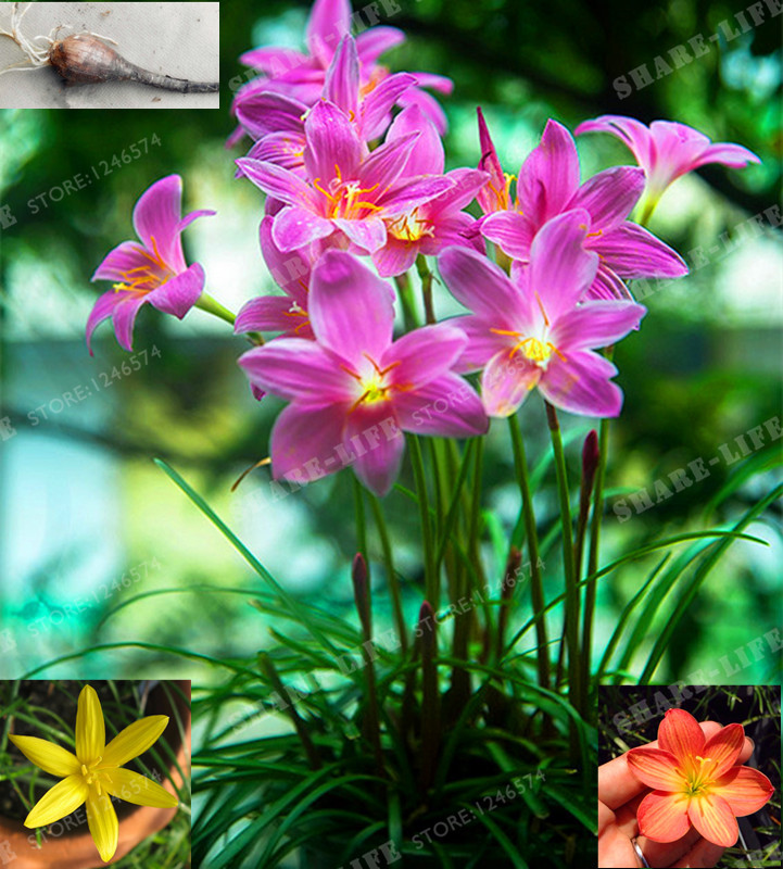 5 Bulbs Color Mixing Zephyranthes Candida Bulbs