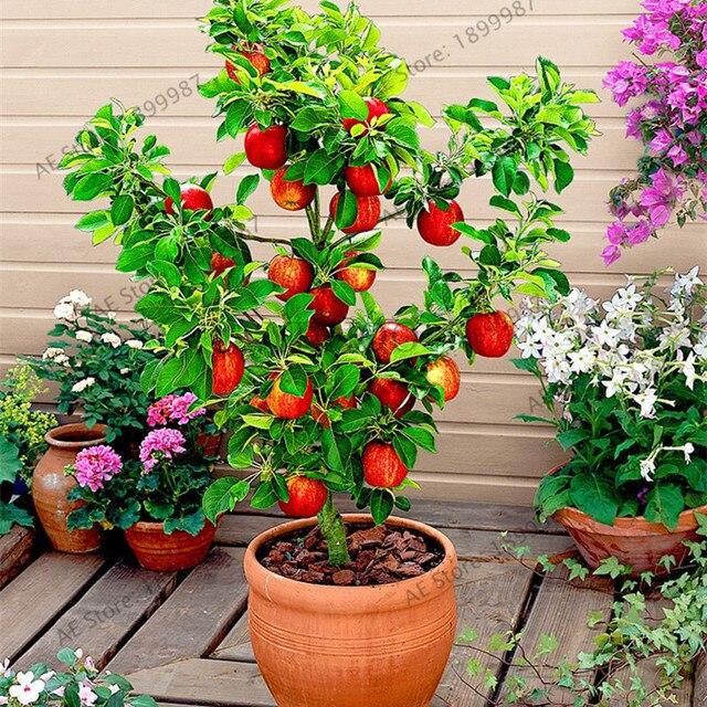 50 Pcs Apple Tree Seeds Exotic Seeds Fruit Bonsai Tree China Red Fuji Apple  Seeds