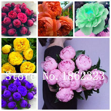 Sale! 5 pcs/bag Peony Flower, Peony flower Bonsai Chinese rose beautiful bonsai potted plant for home garden Easy to Grow(China)