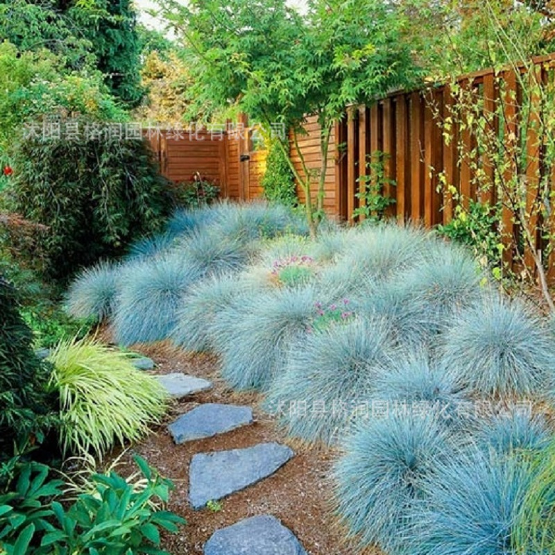 Blue fescue grass seeds festuca glauca perennial hardy for Small blue ornamental grass