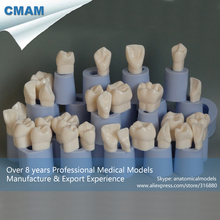 CMAM-DT1308 Dental Rubber Mold Plaster Model in 4x Life-size 14pcs in a Pack