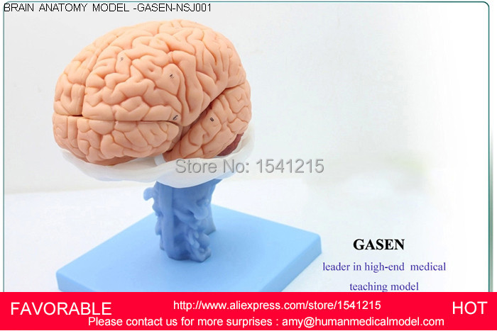 Human Anatomical Modelhuman Anatomy Ventricles Of Brain Stem