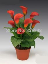 Orange Calla Lily Seeds, 100 seeds, Potted balcony flower can radiation absorption, not calla lily bulbs,