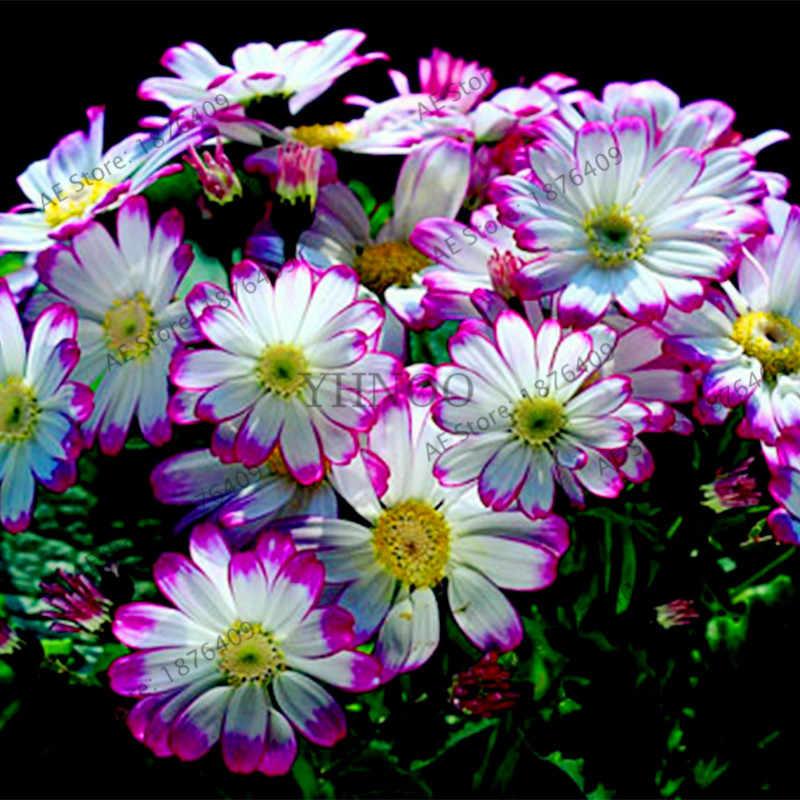 100 adet/torba Çiçekçi Cineraria, çeşitli renkler, Çok Yıllık nadir çiçek bonsai ev ve bahçe kullanımı için