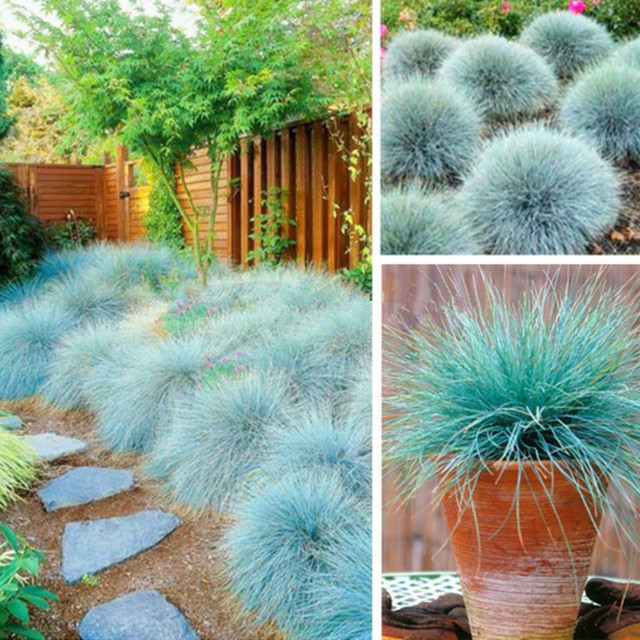 Blue fescue grass seeds festuca glauca perennial hardy for Easy to grow ornamental grasses