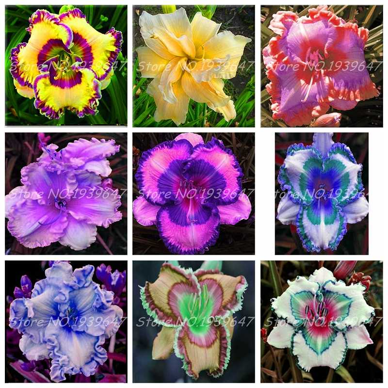 100 Pcs/Bag Fresh Bonsai Hemerocallis Middendorffii Daylily Perennial Flower Daylilies Flower Plant Day Lily Beauty Your Garden