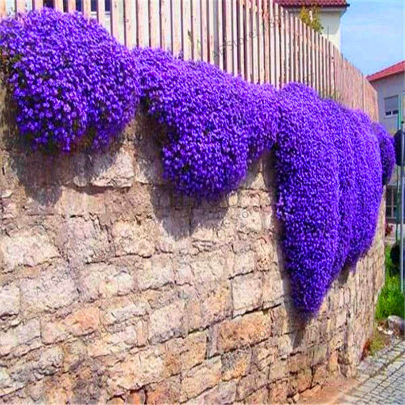 Genuine!100 Creeping Thyme bonsai Flower flores ROCK CRESS GROUND COVER plantas Carpet Evergreen Plant Easy to Grow for Garden L