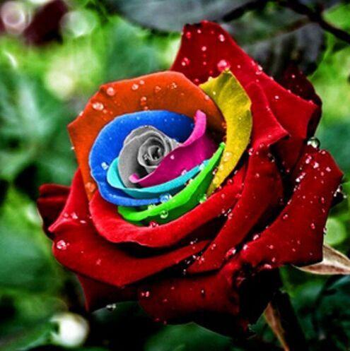 Роза роуз радуга семена фото