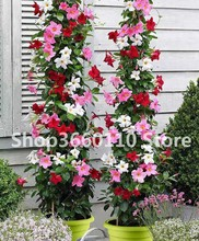 30PCS garden decoration climbing plants Jasmine bonsai amazing smell & beautiful flowers Perennial plant decorated home