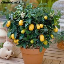 цена на 20pcs Lemon Tree plants fruit bonsai plant DIY home garden indoor Edible Green Lemon