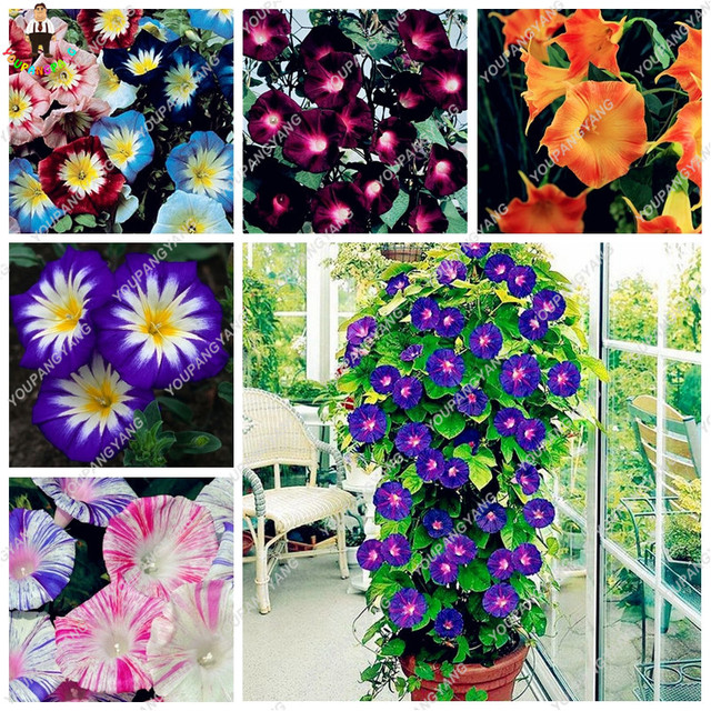 120 Pcs/Bag Rare Star Petunia Blue Plants Garden And Patio Potted Plant  Morning Glory