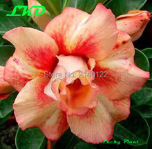 Home Garden - Garden Supplies - Adenium Obesum Seeds Tulip Bulbs Carnation Bonsai Tree Flower 20 Fresh Desert Rose Seeds No400-Triple-QueenofGold