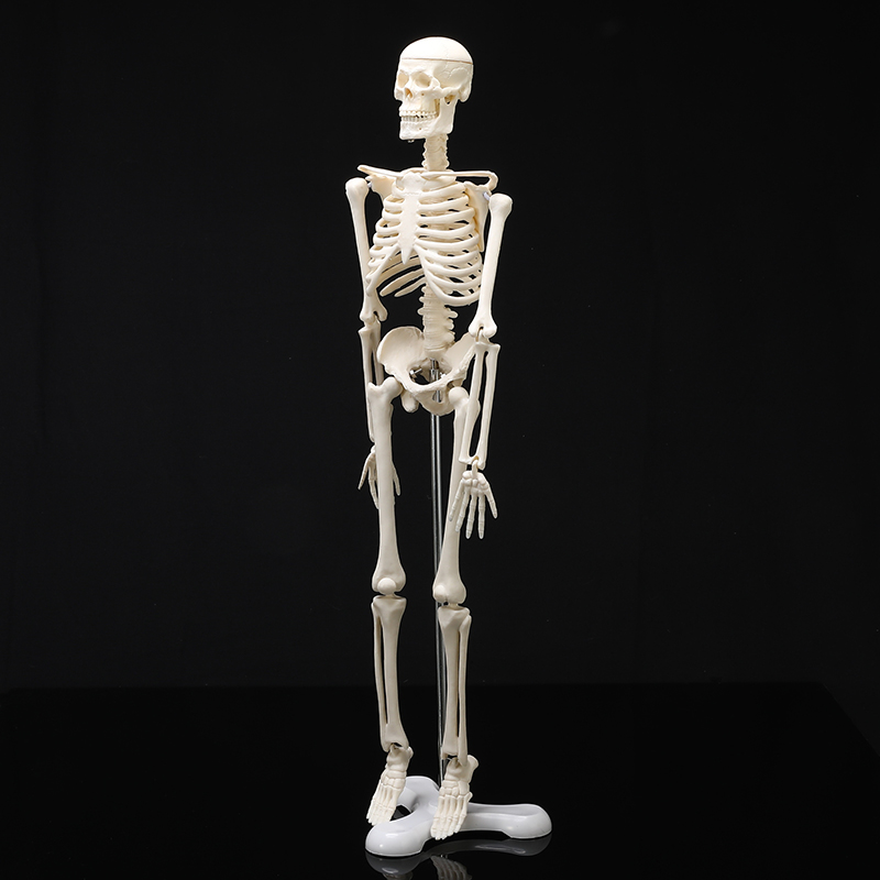45CM Human Anatomical Anatomy Skeleton Model Medical Wholesale Retail Poster Medical Learn Aid Anatomy human skeletal model45CM Human Anatomical Anatomy Skeleton Model Medical Wholesale Retail Poster Medical Learn Aid Anatomy human skeletal model