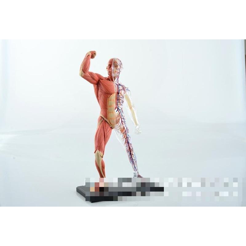 popular human muscles model-buy cheap human muscles model lots, Muscles