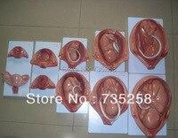 Ten months embryo development model ,Pregnancy Fetal Development Process Model