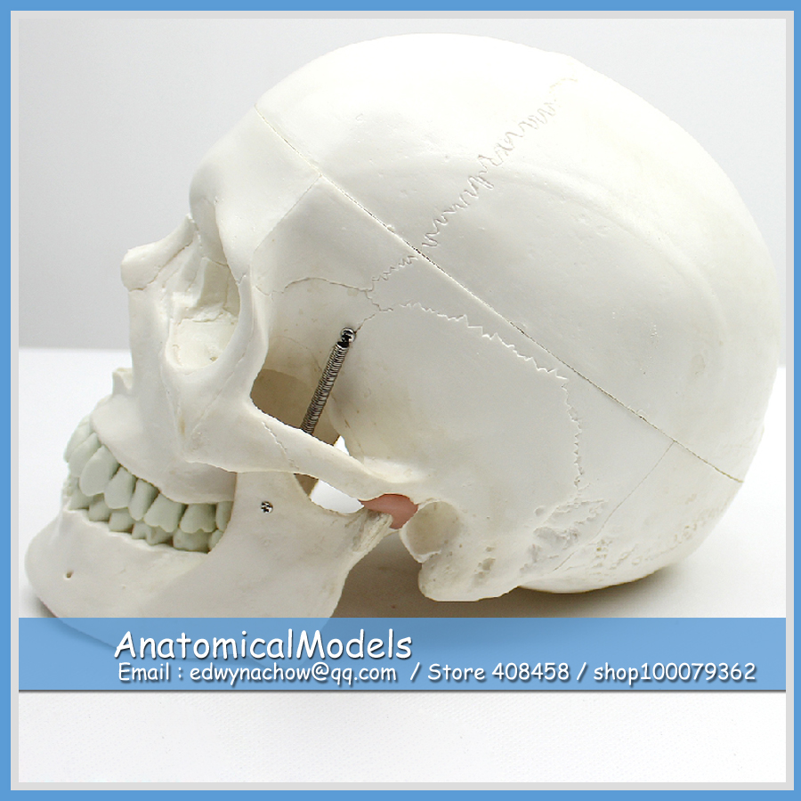 ED-SKULL03 Life Size 3 Parts Human Skull Bone Model,  Medical Science Educational Teaching Anatomical Models 1 2 life size knee joint anatomical model skeleton human medical anatomy for medical science teaching