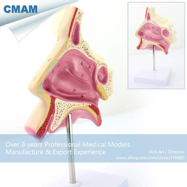 12512 CMAM THROAT06 Human Nose Nasal Cavity Anatomy Model, Medical ...