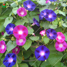 100pcs/bag great petunia seeds bonsai flower seeds Great morning glory seeds potted plant for home garden цена