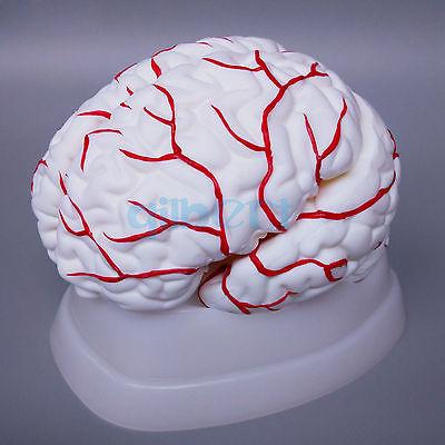 8 Запчасти человеческий мозг с артерии полностью вскрытый модель для Спецодежда медицинская исследование натуральный ...