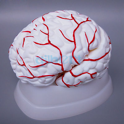 8 Parts Human Brain With Artery Fully Dissected Model for Medical Study Natural8 Parts Human Brain With Artery Fully Dissected Model for Medical Study Natural