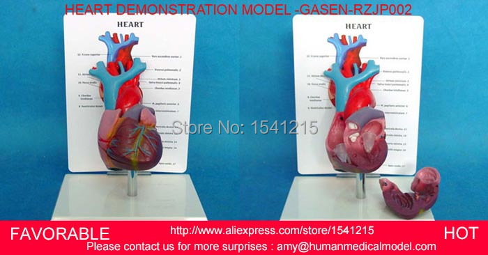 HUMAN ANATOMICAL HEART ANATOMY VISCERA MEDICAL ORGAN MODEL,HEART ASSEMBLED HUMAN ANATOMY DIMENSIONAL MEDICAL MODEL-GASEN-RZJP002 human anatomical body integral organ distribution skin medical teach model school hospital hi q