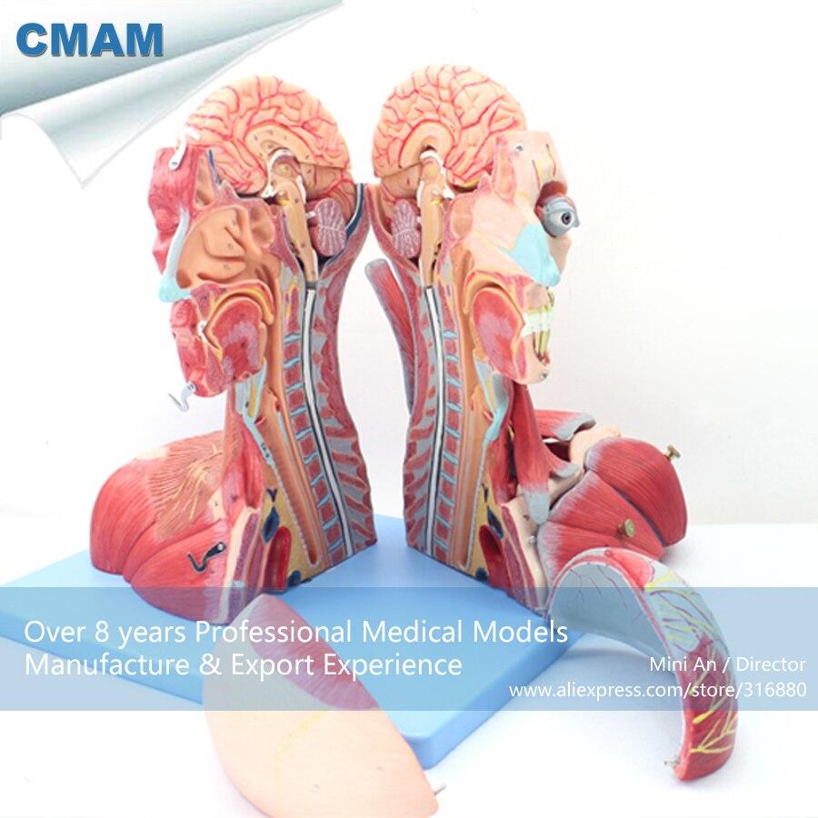 12030 CMAM MUSCLE07 Anatomie HumanHead und Hals mit Gefäße, nerven ...