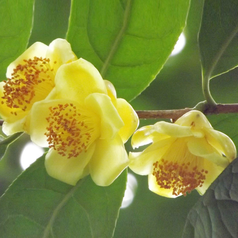 Common Yellow Garden Flowers aliexpress : buy beautiful yellow camellia seeds potted plants