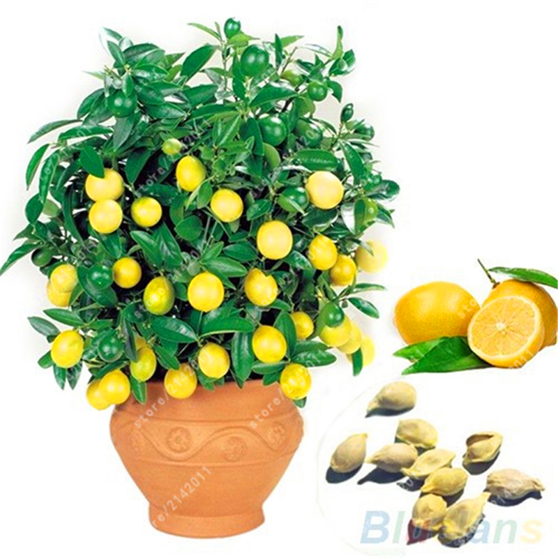 Outstanding Online Buy Wholesale Lemon Tree Plant From China Lemon Tree Plant  With Foxy Pcsbag Lemon Seeds Lemon Tree Organic Fruit Seeds Bonsai Seeds   Germination Edible With Delightful Wooden Garden Swing Bench Also Large Garden Centres In Kent In Addition House And Garden And Hilton Garden Inn Reservations Phone Number As Well As Home And Gardens Additionally Percy Grainger Country Gardens From Aliexpresscom With   Foxy Online Buy Wholesale Lemon Tree Plant From China Lemon Tree Plant  With Delightful Pcsbag Lemon Seeds Lemon Tree Organic Fruit Seeds Bonsai Seeds   Germination Edible And Outstanding Wooden Garden Swing Bench Also Large Garden Centres In Kent In Addition House And Garden From Aliexpresscom