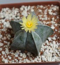 20 зерен / Astrophytum Myriostigma семена цветов мини — бонсай засуха — отказоустойчивую семена пентаграмма кактус