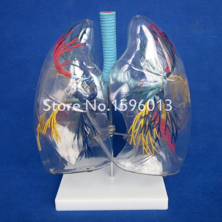 Modelo de segmento de pulmão transparente