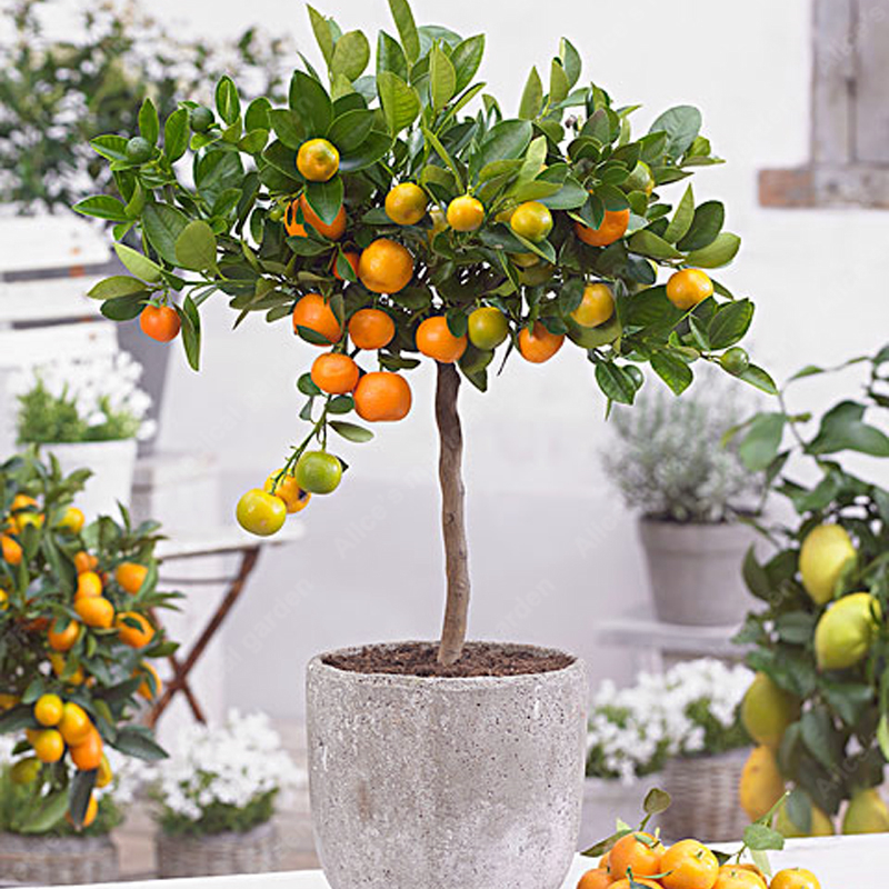 aliexpress com   buy 20pcs edible dwarf orange tree   fruit mandarin bonsai tree   citrus bonsai