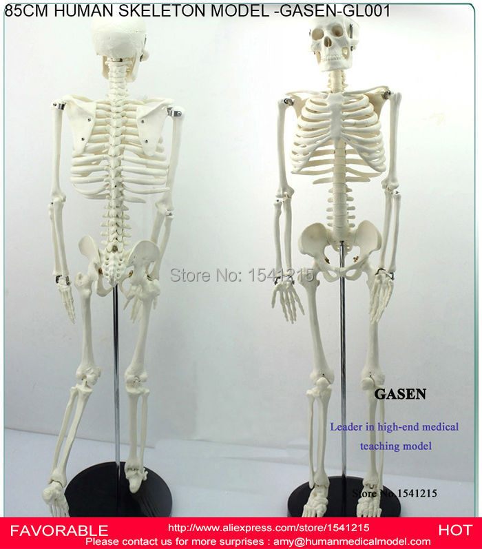 85CM TEACHING HUMAN SKELETON MODEL HUMAN ANATOMICAL MEDICAL HUMAN SKELETON ANATOMICAL MEDICAL HUMAN BODY SKELETON-GASEN-GL001 human anatomical male body integral skeleton organ skin medical teach model school hospital