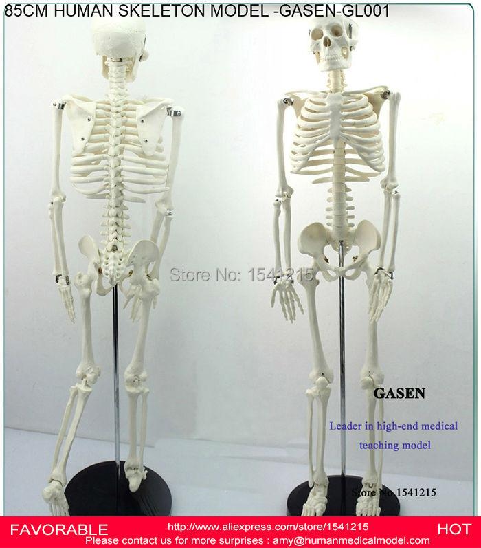 85CM TEACHING HUMAN SKELETON MODEL HUMAN ANATOMICAL MEDICAL HUMAN SKELETON ANATOMICAL MEDICAL HUMAN BODY SKELETON-GASEN-GL001