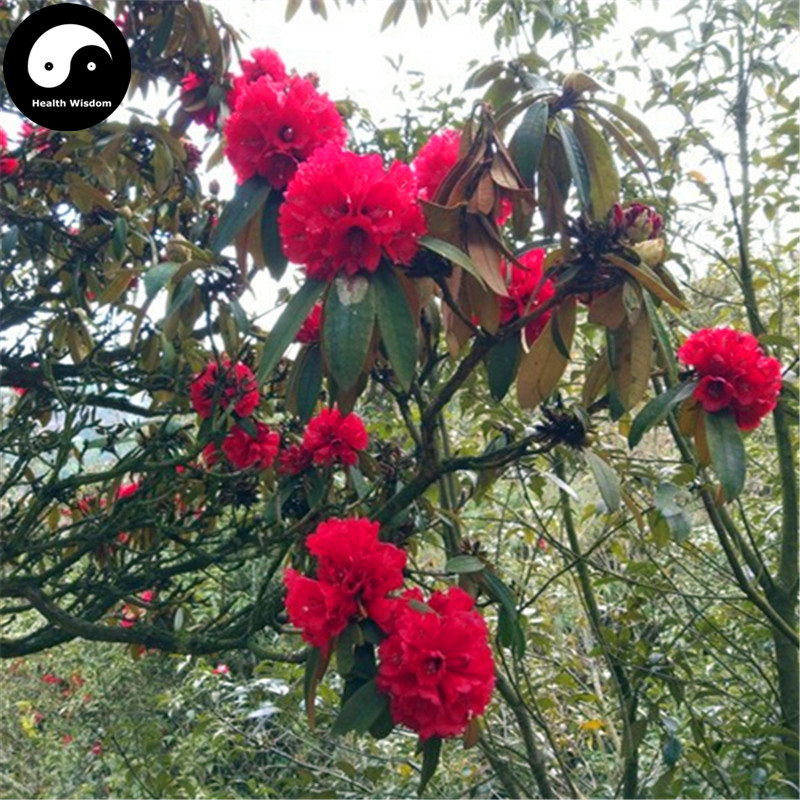 Buy Rhododendron Delavayi Semente 50pcs Plant Rhododendron Delavayi Tree For Ma Ying Hua