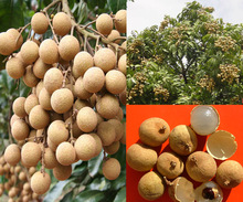 2016 New Rare 2 pcs Live DRAGON EYE Exotic LONGAN Dimocarpus Sweet Tropical FRUIT Tree seeds
