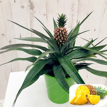 US $0.33 49% OFF|100 Pcs Pineapple Bonsai Juicy Delicious Fruit Bonsai Rare Exotic Bonsai Potted Plant Decoration Home & Garden Free Shipping-in Bonsai from Home & Garden on Aliexpress.com | Alibaba Group