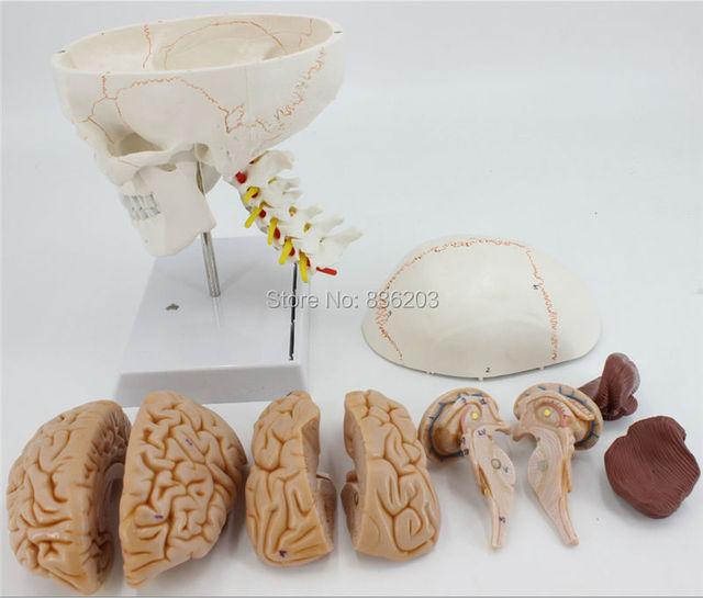 Vida tamaño numerada cráneo vértebras cervicales con nervios del ...