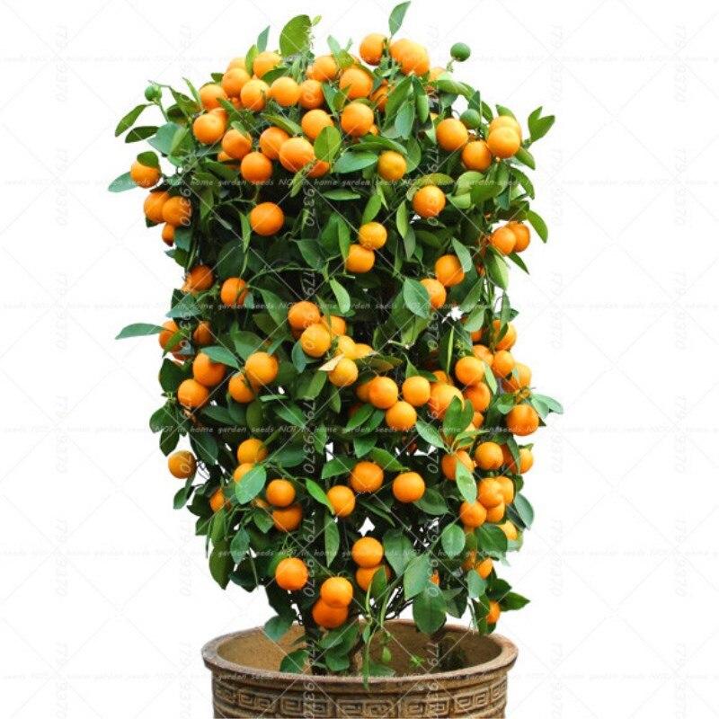 40 шт. карликовые деревья оранжевый горшках съедобные мандарин цитрусовых карликовый дерево комнатное растение для домашние, садовые расте...