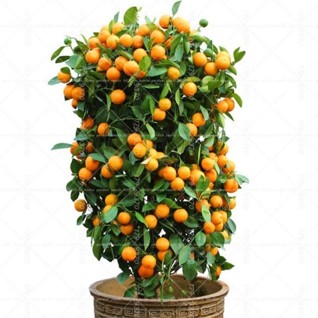 40 pièces bonsaï Orange en pot comestible mandarine agrumes nain Orange  arbre intérieur plante pour la maison jardin plantes