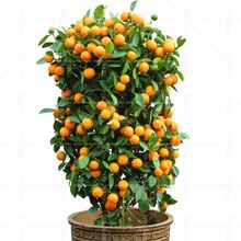 40PCS Bonsai Orange Potted Edible Tangerine Citrus Fruit Dwarf Orange Tree Indoor Plant For Home Garden plants(China)