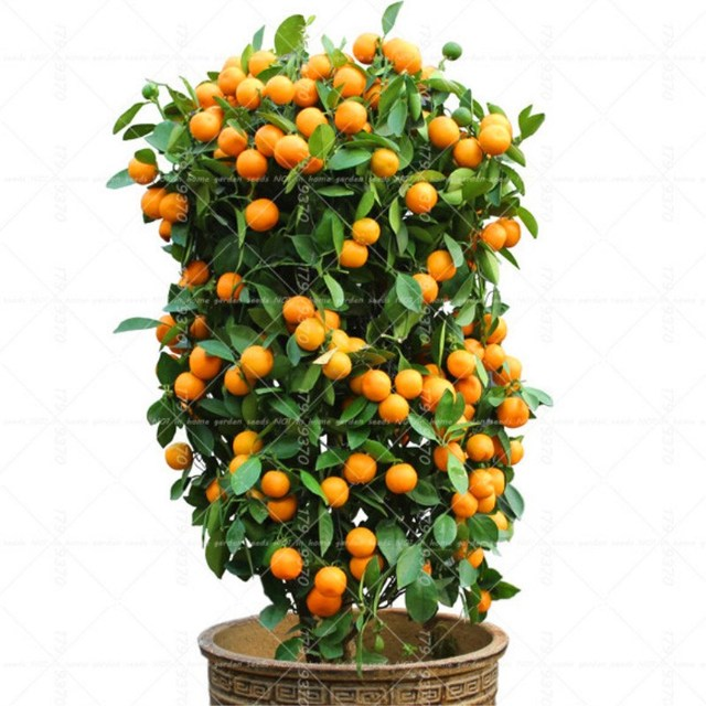40PCS Bonsai Orange  Potted Edible Tangerine Citrus Fruit  Dwarf Orange Tree  Indoor Plant For Home Garden plants