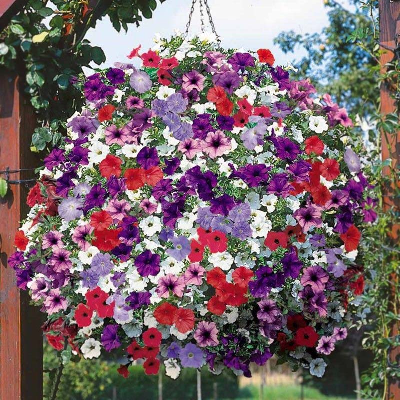 200 pcs/set Hanging Petunia Mixed bonsai Color Waves Beautiful Flowers for Home Garden Plant Petunia plants Flower Seedling